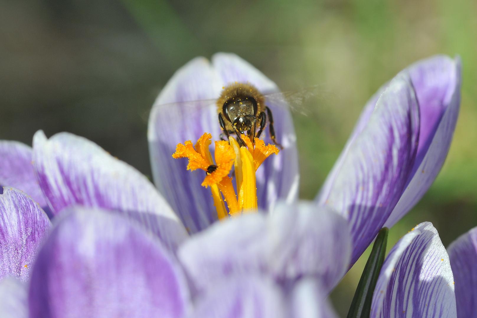 Bees with crocus
