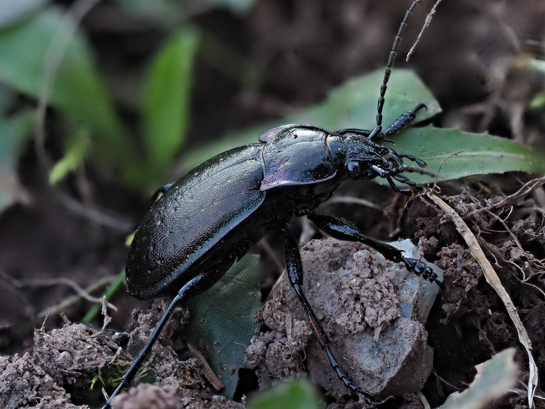 Beetle 4