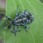 Beetle i saw in Australia