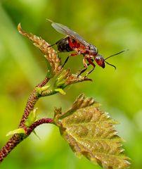 Beflügelte Rote Waldameise (Formica rufa).