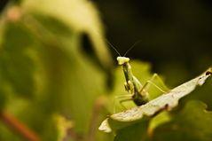 Begegnung im Weinberg - Mantis Religiosa, Languedoc