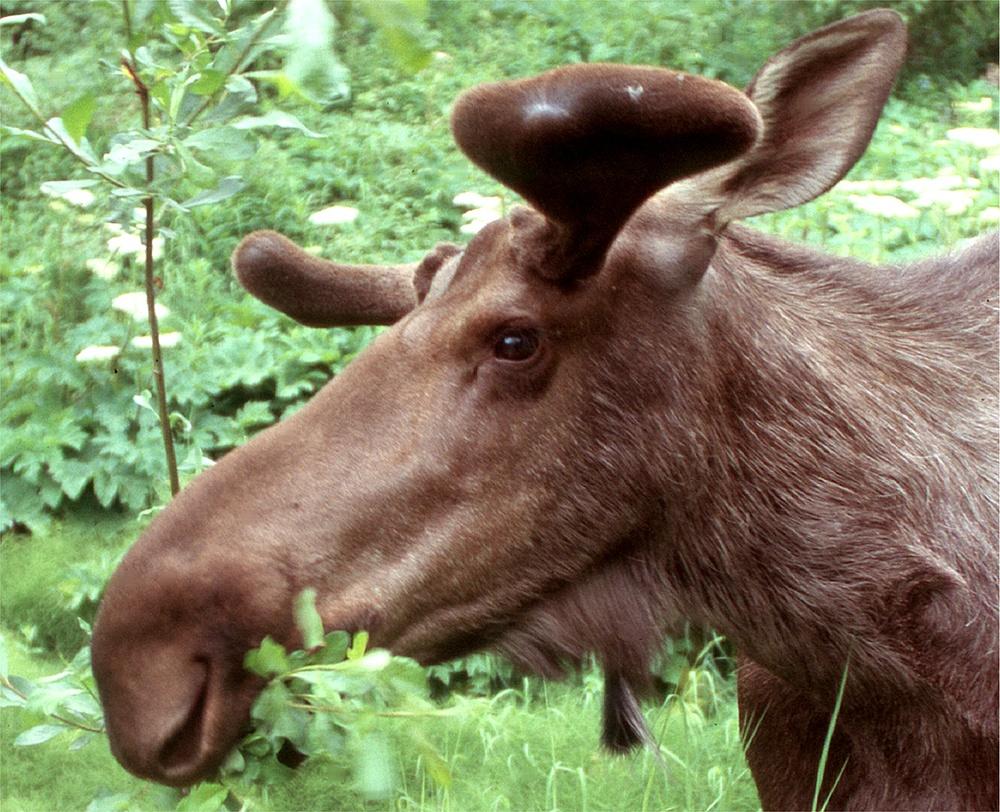 Begegnung in Alaska - Elch beim Mittagessen