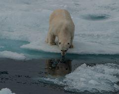 Begegnung mit dem Eisbär II