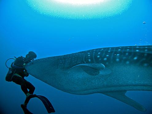 Begegnung mit dem Walhai