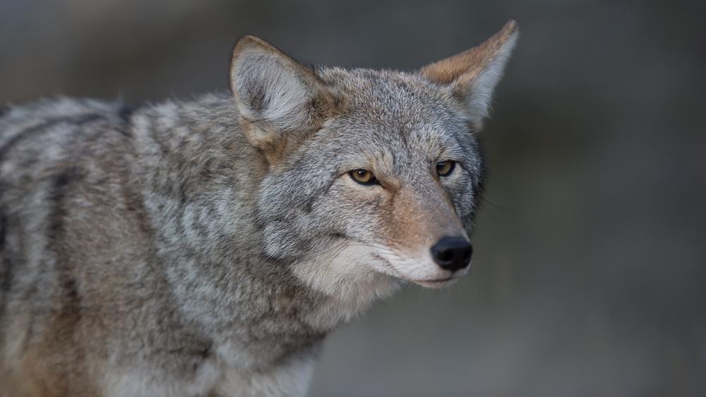 Begegnung mit einem Coyote