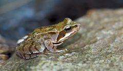 Begegnung mit einem Grasfrosch (Rana temporaria) - Une petite grenouille des champs.