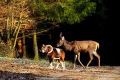 Begegnung - Muffelwidder und junger Hirsch