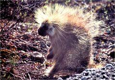 Begegnungen in Alaska - Stachelschweine und Grizzlys