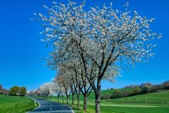 Beginn der Kirschblüte