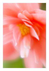 Begonia-11