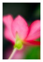 Begonia-2