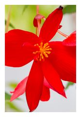 Begonia-7