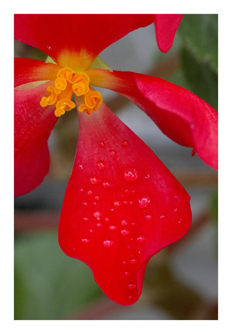 Begonia-8