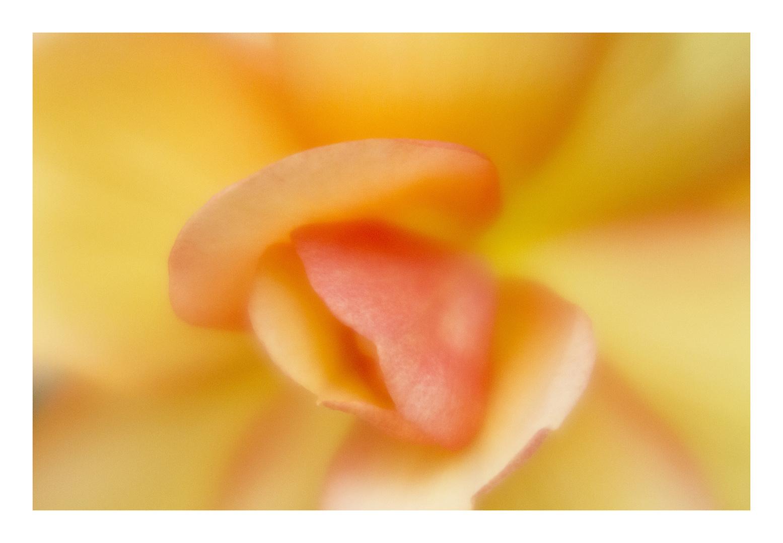 Begonia-9