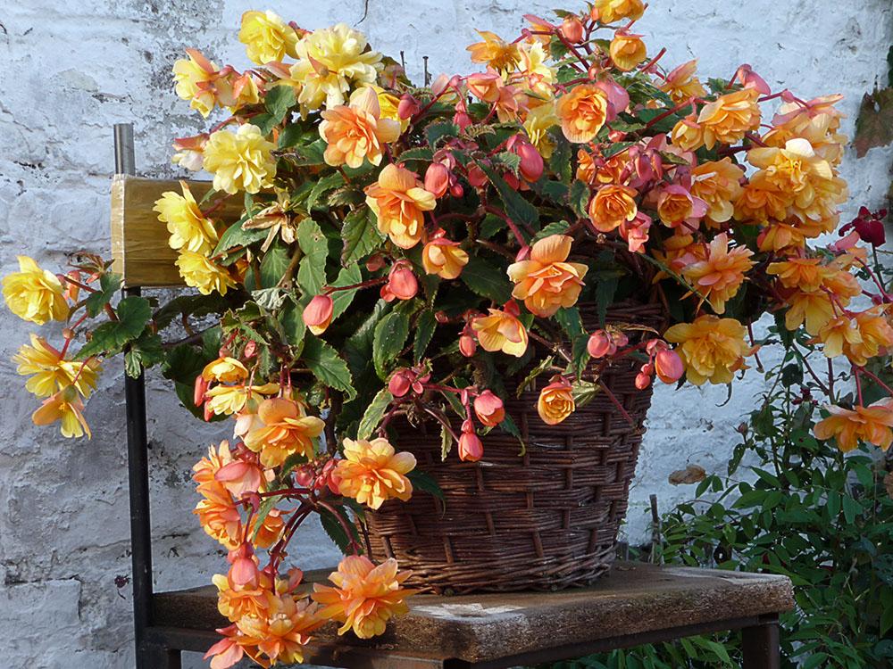 Begonie (Begoniaceae)