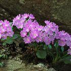 Behaarte Primel oder Rote Felsenprimel (Primula hirsuta) - Primevère à gorge blanche.