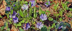 Bei den blauen Blüten habe ich keine Idee was den Namen betrifft...