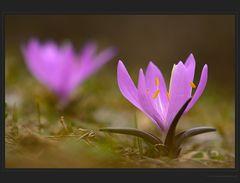 Bei den Frühlingslichtblumen