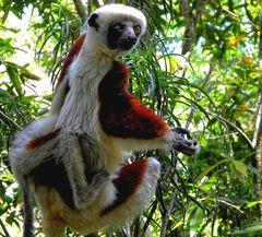 ... bei den Lemuren ...