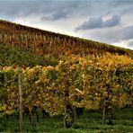 bei den Weinreben im Herbst,