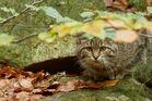 bei den Wildkatzen im Nationalpark Bayerischer Wald...