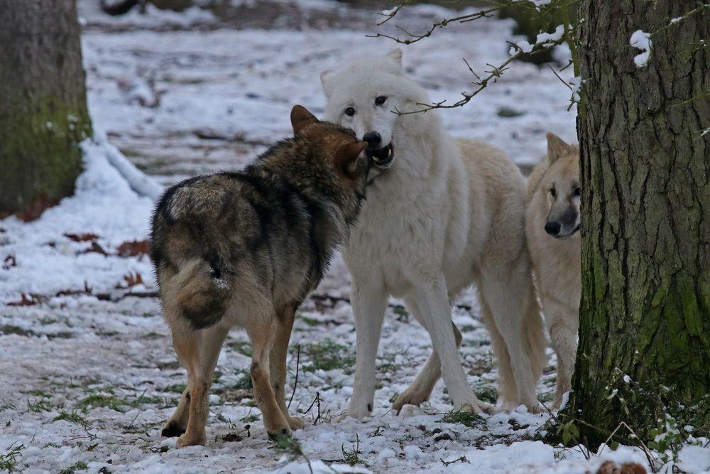 Bei den Wölfen