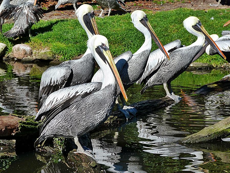 Bei diesen Pelikanen . . .