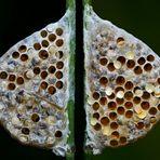 Beide Seiten eines Kokons von Brackwespen am Grashalm... - Cocon d'une petite guêpe parasite.