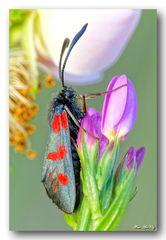 Beilfleckwidderchen - Zygaena loti