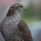 Beim Beizvogelappell