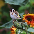 beim Nachbarn auf der Sonnenblume