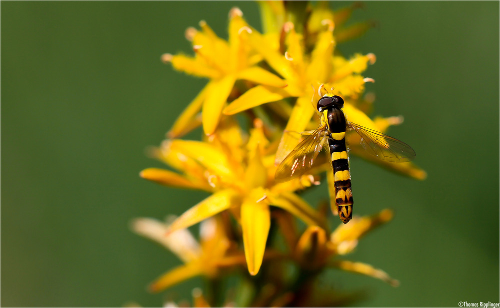 Beinbrech (Narthecium ossifragum) oder Moorlilie.