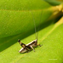 Beiß- oder Blattschrecke