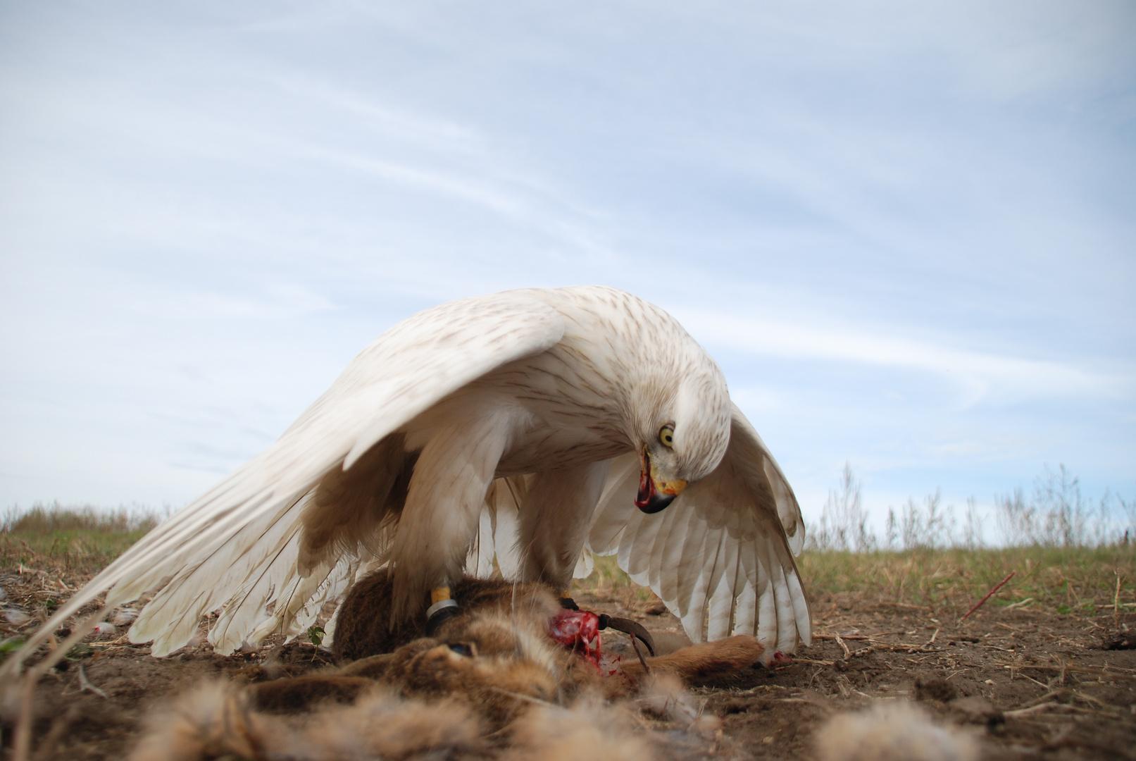 Beizjagd mit Falken