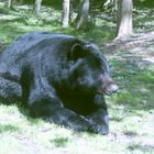 Bel ours brun non!!!!!!!!!