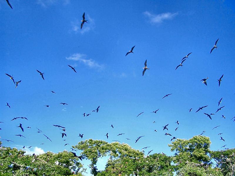 """Belize, """"Fregattbirds"""""""