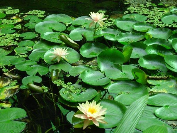 bella flor en el agua