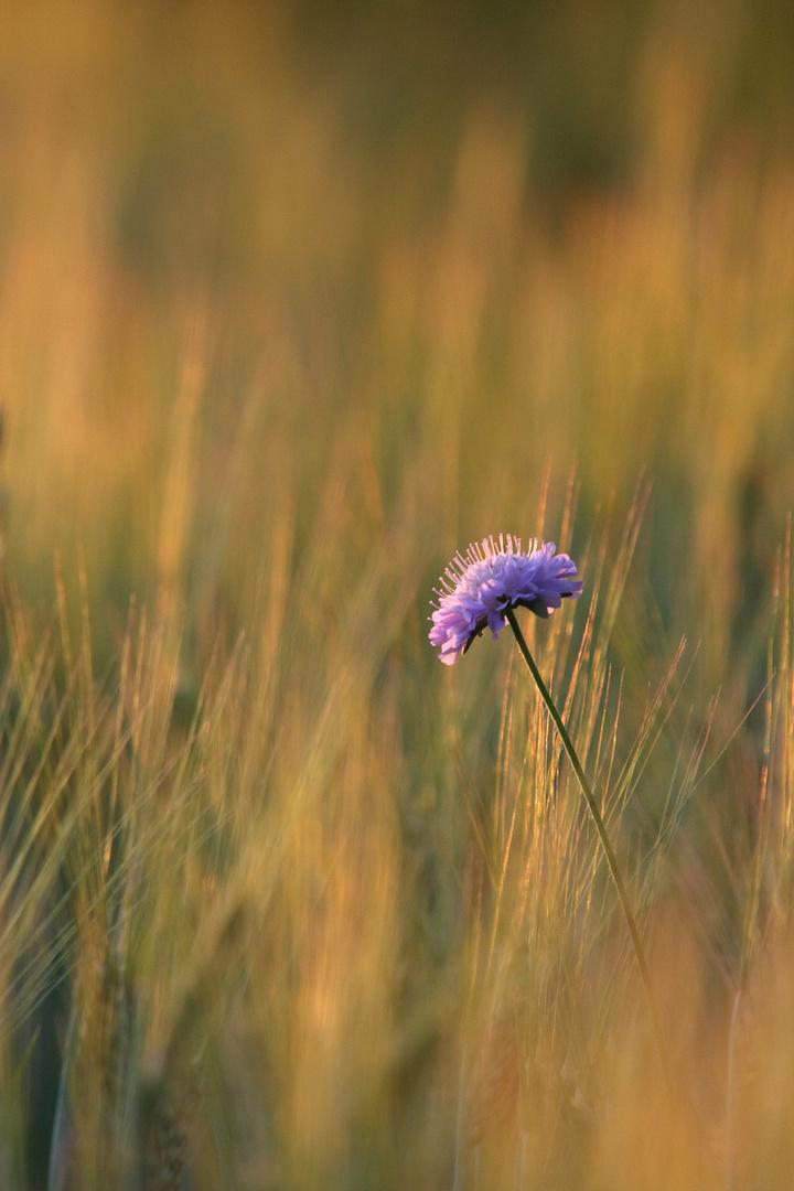 Belle des blés
