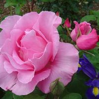 Belle Fleur Rose Photos Images Photographe De Beauregard De