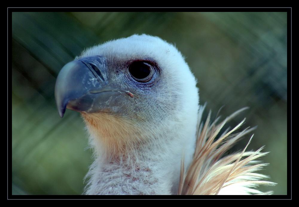 Belle tête pour un vautour !