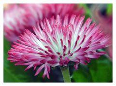 Bellis - Gänseblümchen Rob Roy