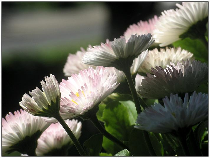 Bellis oder Der nicht ganz geglückte Versuch einer Blumengruppe, eine Diagonale darzustellen