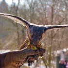 Belohnung des Falken (3)