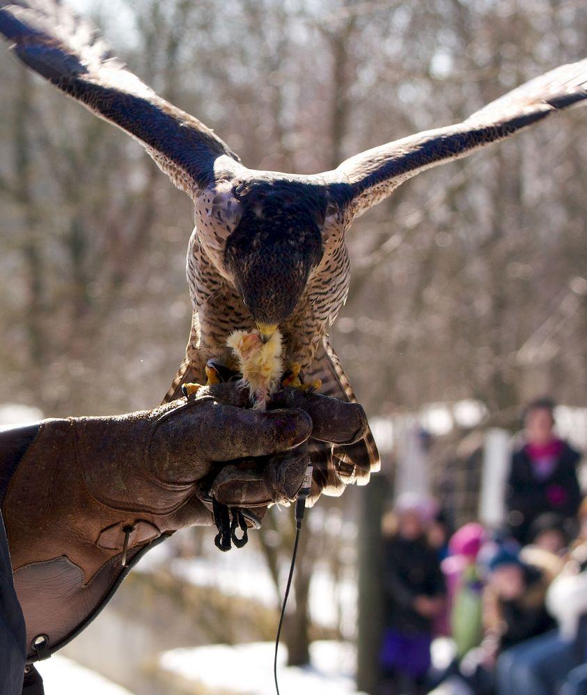 Belohnung des Falken (4)