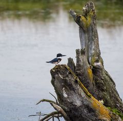 Belted Kingfisher    DSC_0527