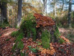 bemooster Baumstumpf mit Pilzen