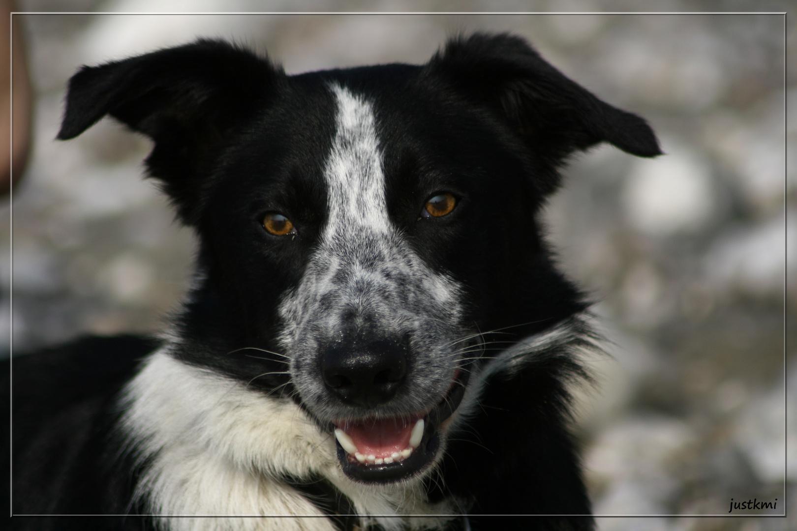 Ben, border collie, portrait