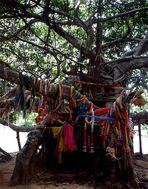 Beneath the banyan trees