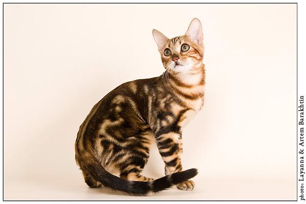 Bengal cat 2