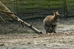 Bennett-Känguru im Tierpark Hamm